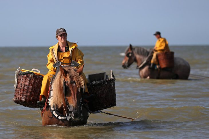 In Belgium, horses pull shrimp nets in tradition unchanged for 600 years