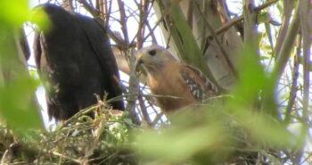 Hawks' Forbidden Love Results in a Rare Hybrid
