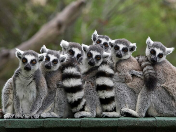 'Stink flirting' is a thing – just ask a ring-tailed lemur – The London Free Press