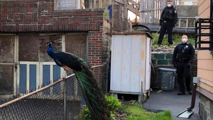 Boston cop uses mating call on phone to lure lovelorn peacock – CNET