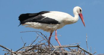 Stork chicks hatch in UK for first time in 600 years – why that's great news for British wildlife