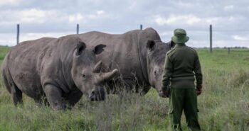 Coronavirus Is Stalling Efforts to Save the Northern White Rhino – Population, 2 – and Time Is Running Out