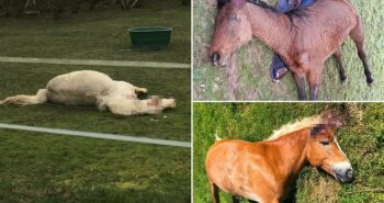 15 horses are mutilated across France as police hunt mystery attackers