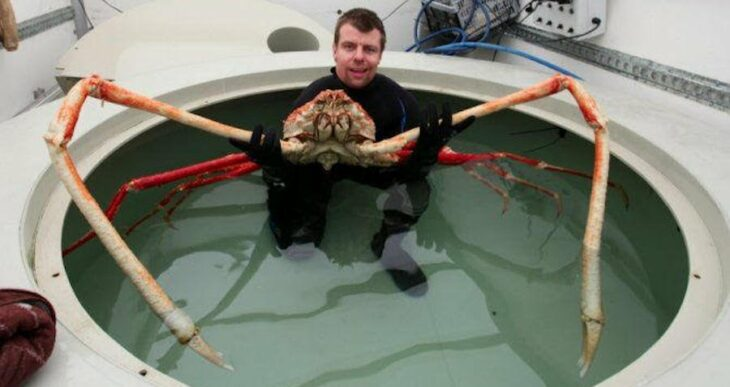 Meet The Japanese Spider Crab, The 'Daddy Long Legs Of The Sea'