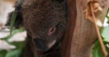 Koala chaos ends as Australian state leaders reach truce over habitat law – Reuters India
