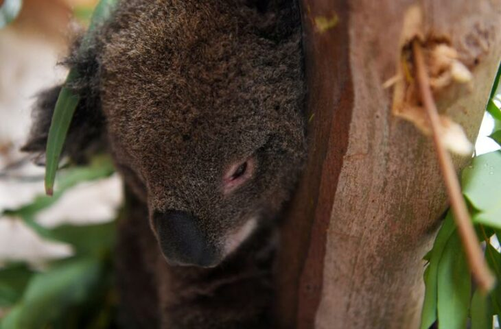 Koala chaos ends as Australian state leaders reach truce over habitat law – Reuters India