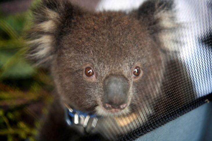 Koala chaos ends as Australian state leaders reach truce over habitat law – Reuters UK